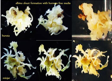 In Vitro Plantlet Regeneration from the Bulbs of Shallot